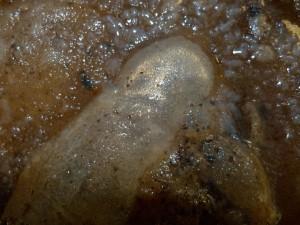 Black Peppercorn (Piper nigrum)